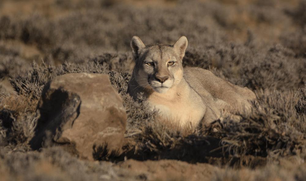 04 Puma en el Parque Patagonia©️ Franco Bucci _ Fundacion Rewilding Argentina  (1)