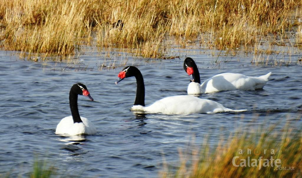 cisnes cuello negro [AUDIO FMD]